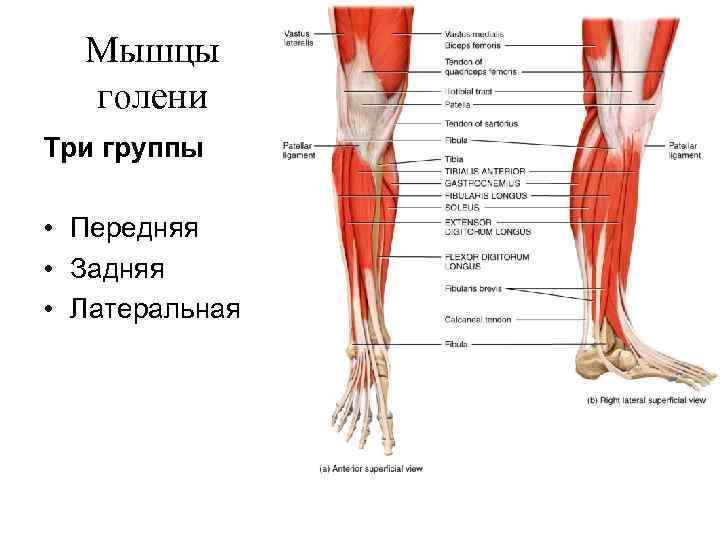 Мышцы  голени Три группы  • Передняя • Задняя • Латеральная