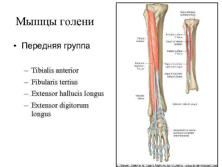 Мышцы голени  • Передняя группа  – Tibialis anterior  – Fibularis tertius