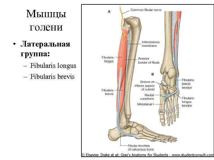 Мышцы  голени • Латеральная  группа:  – Fibularis longus