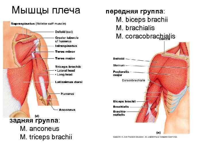Мышцы плеча   передняя группа:     M. biceps brachii