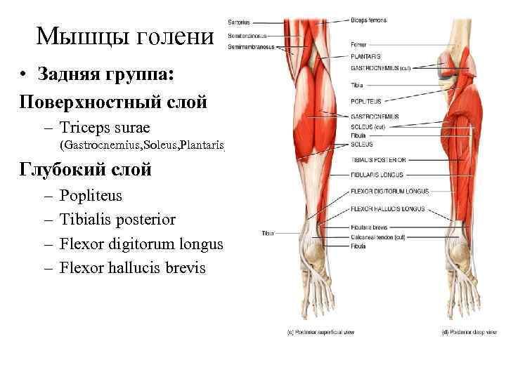 Мышцы голени • Задняя группа: Поверхностный слой  – Triceps surae  (Gastrocnemius,