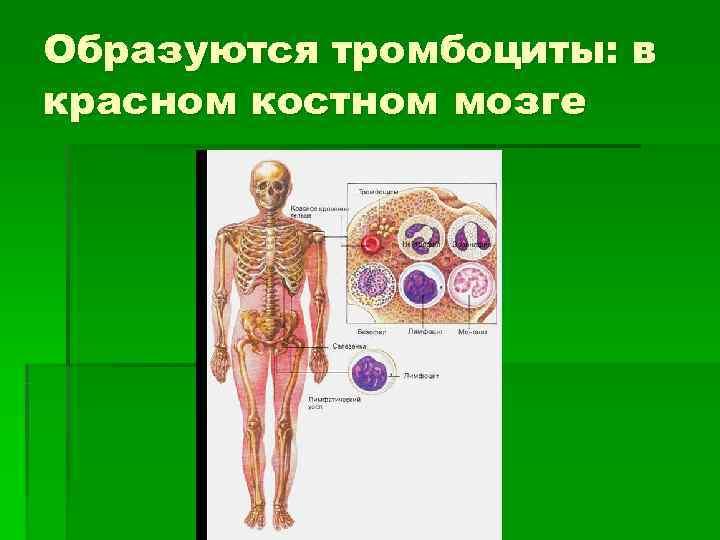 Образуются тромбоциты: в красном костном мозге