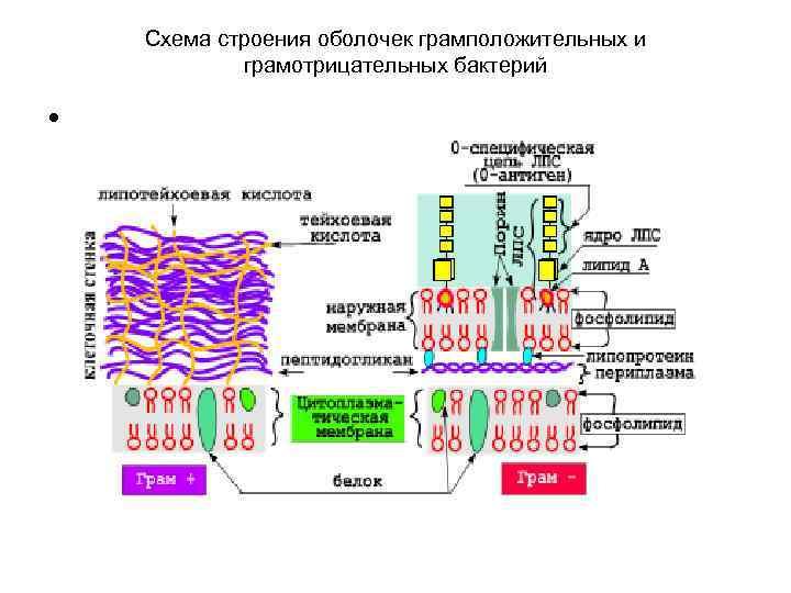 Схема строения оболочек грамположительных и   грамотрицательных бактерий  •