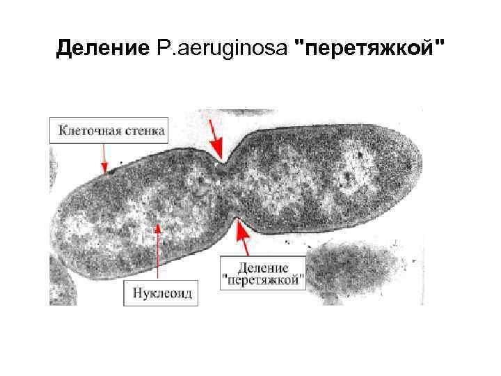 Деление P. aeruginosa