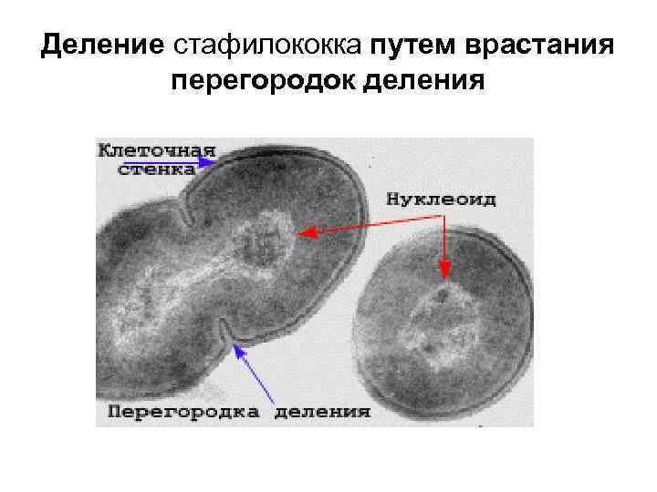 Деление стафилококка путем врастания   перегородок деления