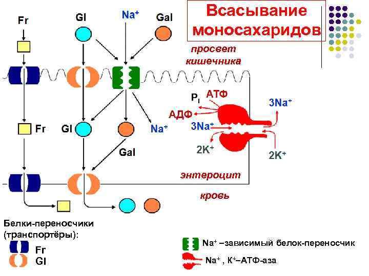 Всасывание     моносахаридов