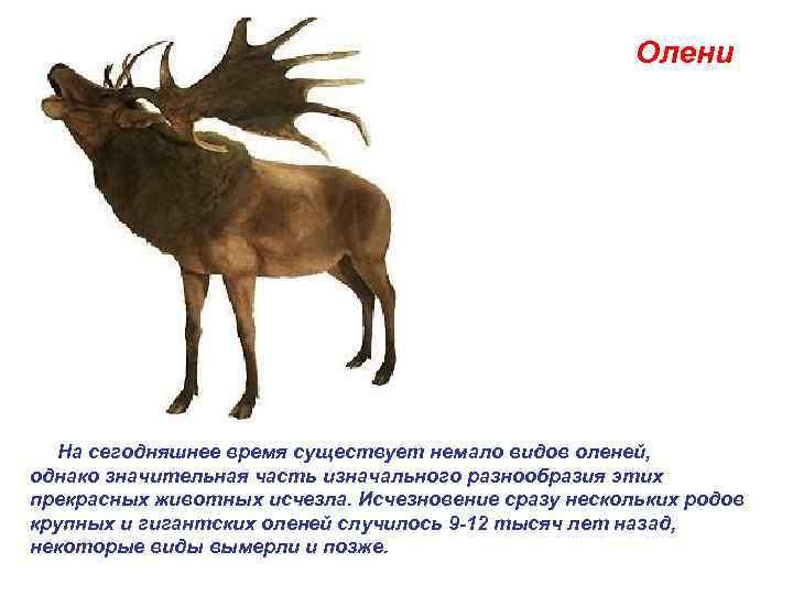 Олени  На сегодняшнее время существует немало видов оленей,