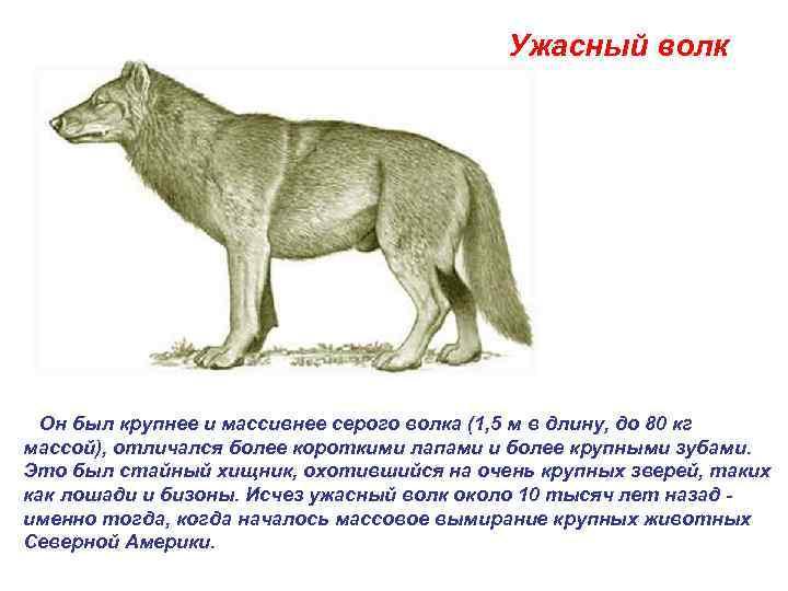 Ужасный волк   Он был крупнее и массивнее серого