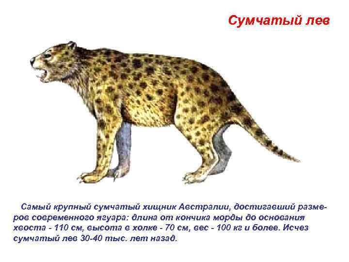 Сумчатый лев   Самый крупный сумчатый хищник Австралии, достигавший