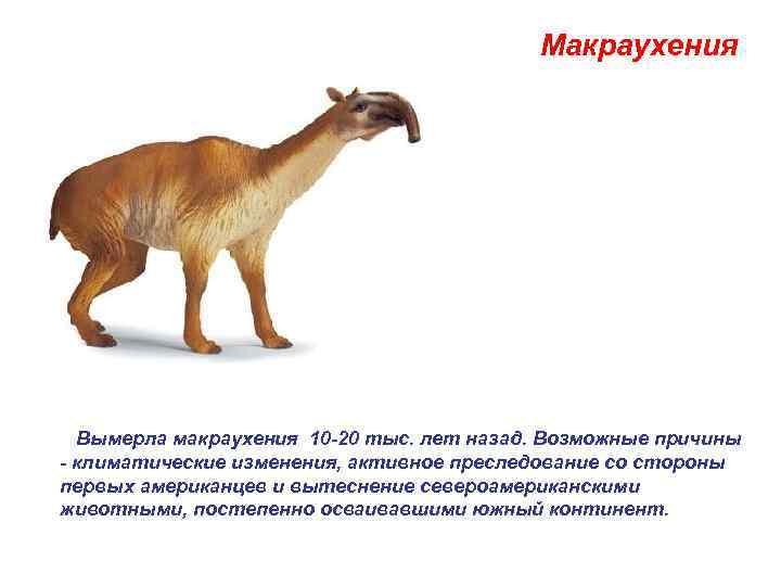 Макраухения   Вымерла макраухения 10 -20 тыс. лет назад.