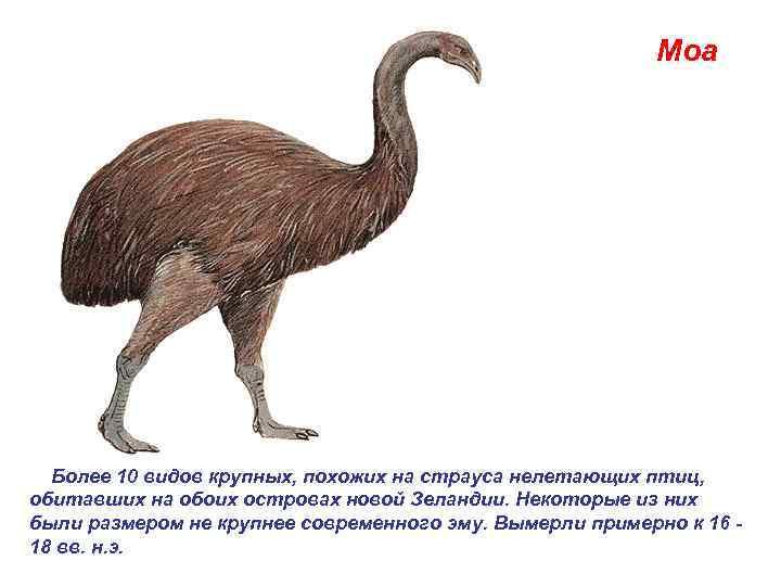 Моа  Более 10 видов крупных, похожих на