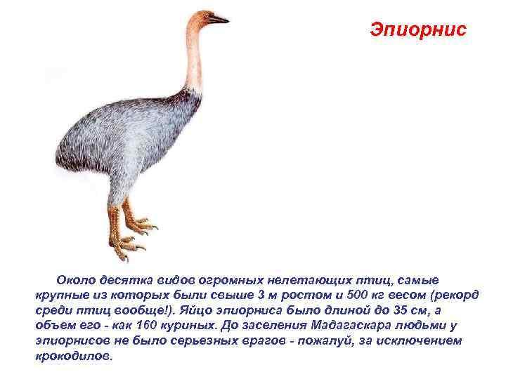 Эпиорнис   Около десятка видов огромных нелетающих птиц, самые