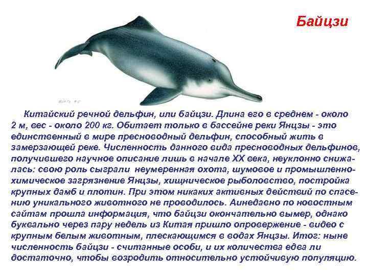 Байцзи  Китайский речной дельфин, или байцзи. Длина