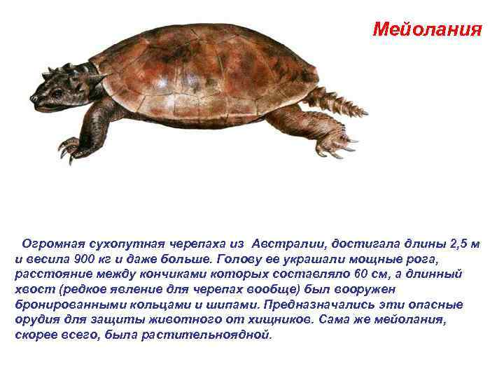 Мейолания  Огромная сухопутная черепаха из Австралии, достигала длины