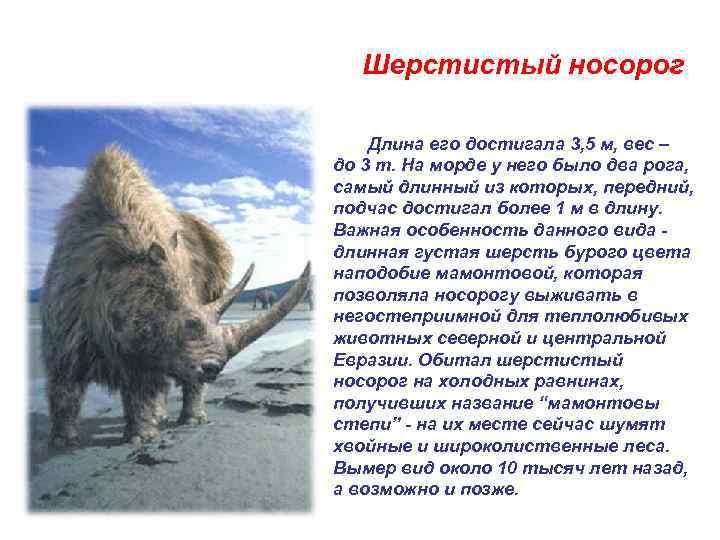 Шерстистый носорог   Длина его достигала 3, 5 м, вес –