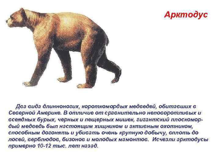 Арктодус  .  Два вида длинноногих, короткомордых медведей,