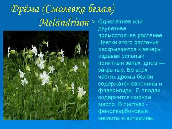 Дрёма (Смолевка белая) Melándrium Ø Однолетнее или    двулетнее