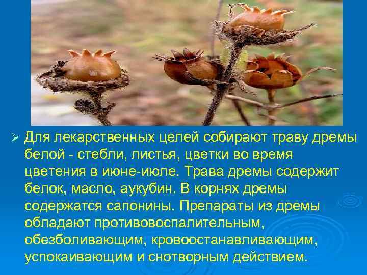Ø  Для лекарственных целей собирают траву дремы белой - стебли, листья, цветки во