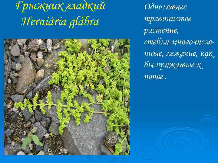 Грыжник гладкий Однолетнее Herniária glábra  травянистое     растение,