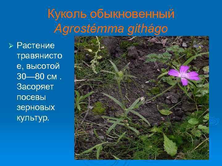 Куколь обыкновенный   Agrostémma githágo Ø  Растение травянисто е, высотой