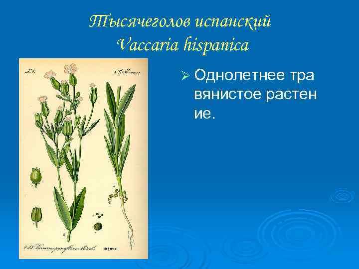Тысячеголов испанский  Vaccaria hispanica  Ø Однолетнее тра   вянистое растен
