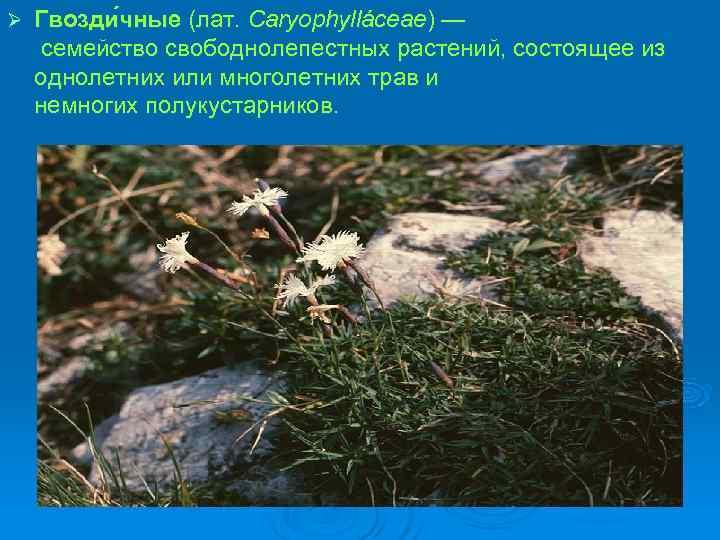 Ø  Гвозди чные (лат. Caryophylláceae) — семейство свободнолепестных растений, состоящее из однолетних или