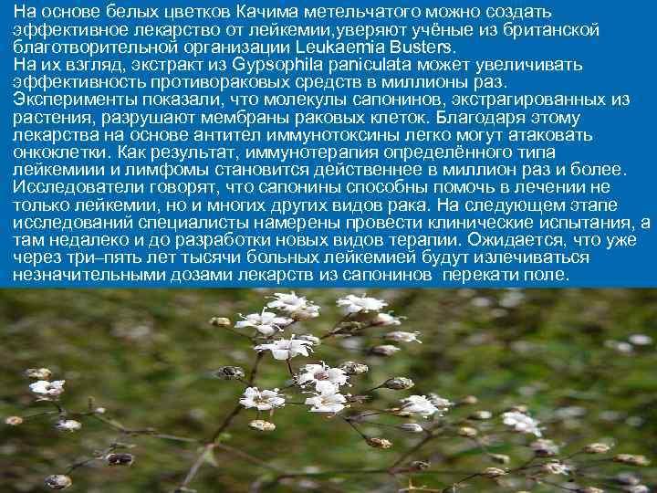 Ø  На основе белых цветков Качима метельчатого можно создать эффективное лекарство от лейкемии,