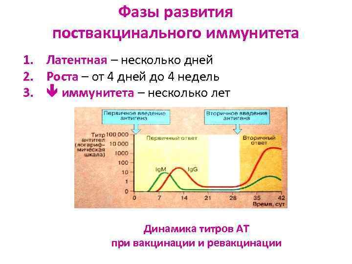 Фазы развития поствакцинального иммунитета 1. Латентная – несколько дней 2. Роста –