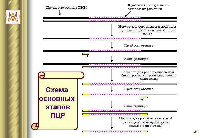 Схема основных  этапов  ПЦР   42