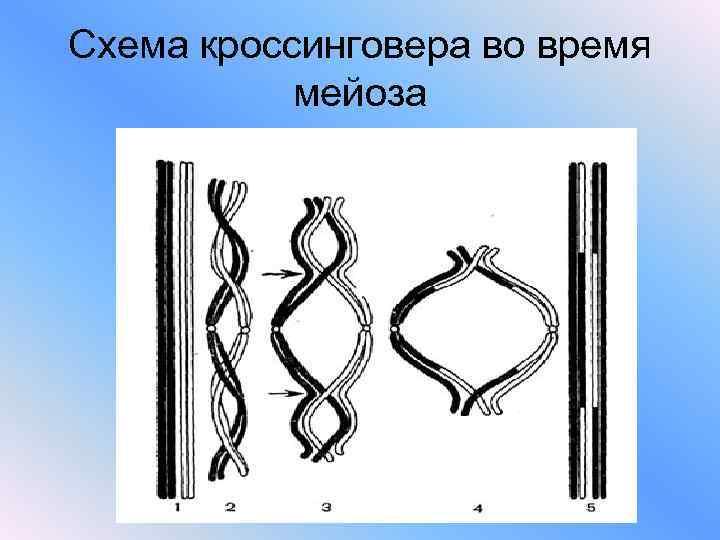 Схема кроссинговера во время  мейоза