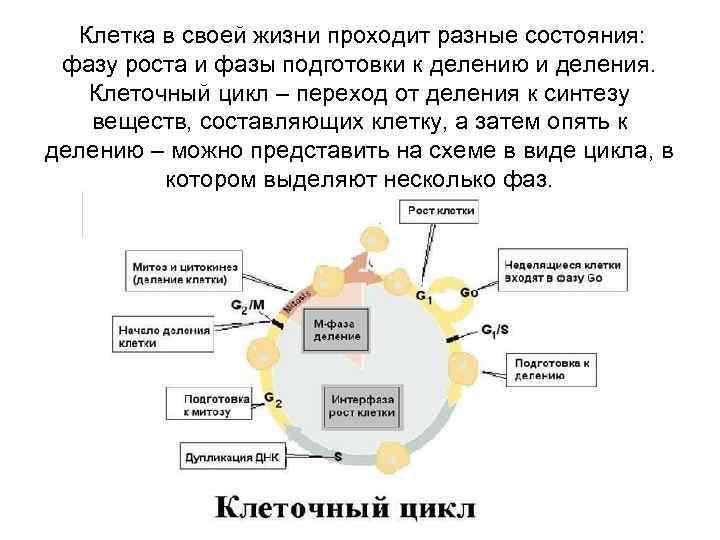 Клетка в своей жизни проходит разные состояния:  фазу роста и фазы