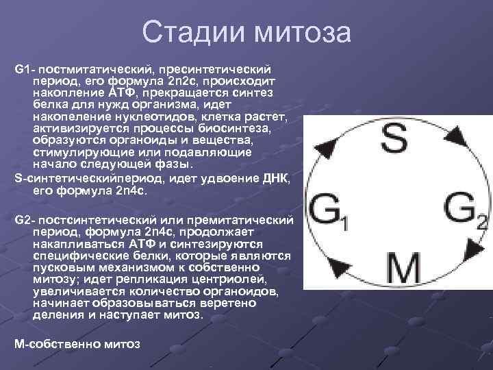 Стадии митоза G 1 - постмитатический, пресинтетический  период,