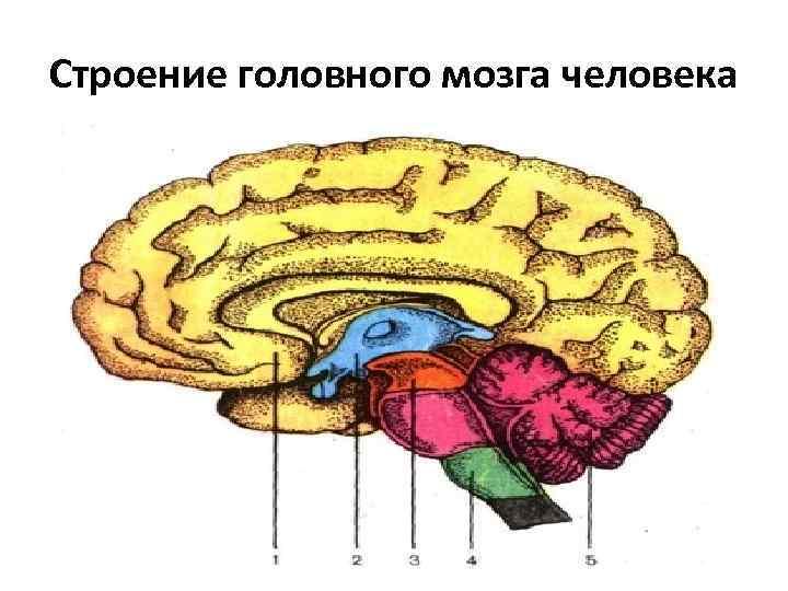 Рисунки головного мозга человека
