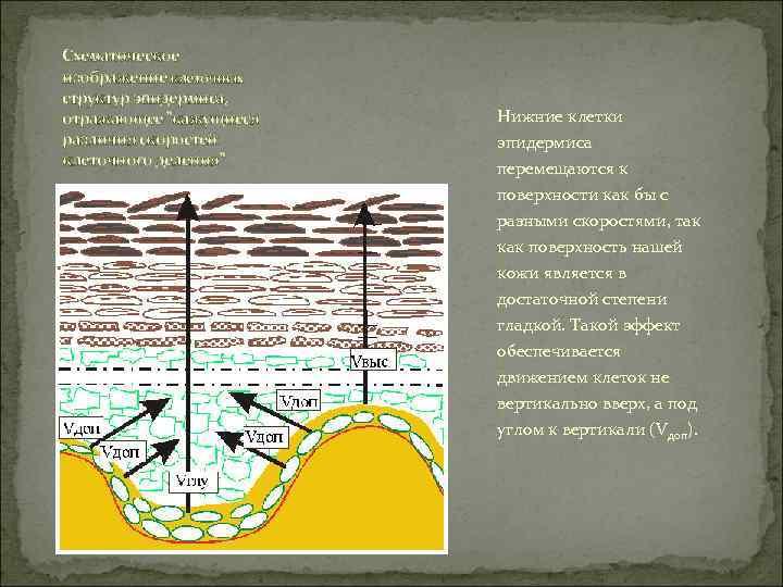 Схематическое изображение клеточных структур эпидермиса,  отражающее