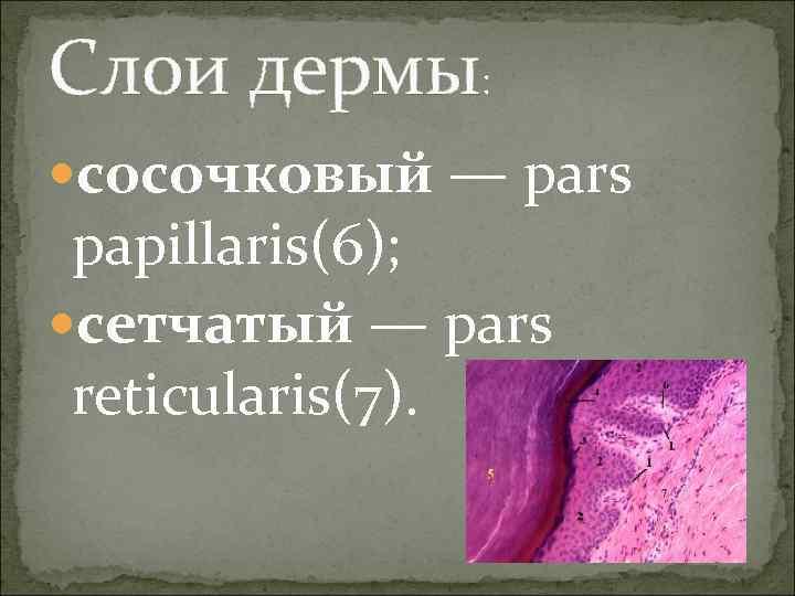 Слои дермы:  cосочковый — pars  papillaris(6);  cетчатый — pars  reticularis(7).
