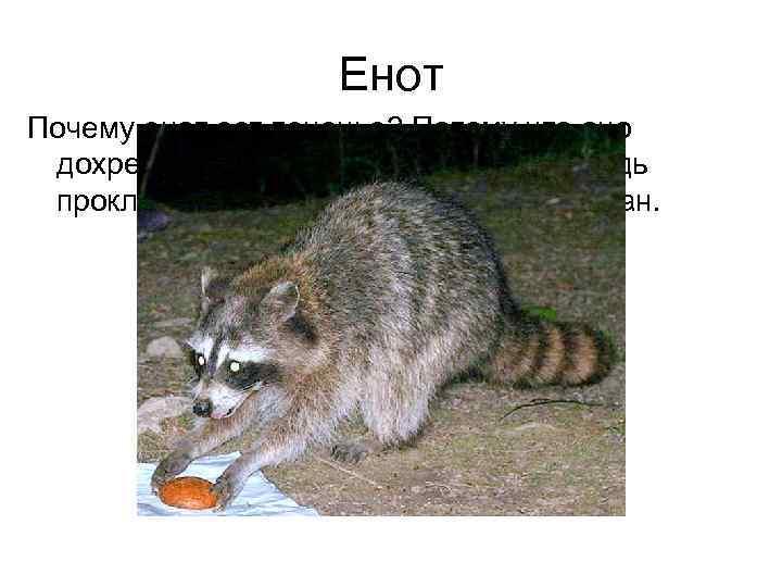 Енот Почему енот ест печенье? Потому что оно дохрена похоже