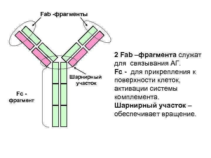 Fab фрагменты      2 Fab –фрагмента служат