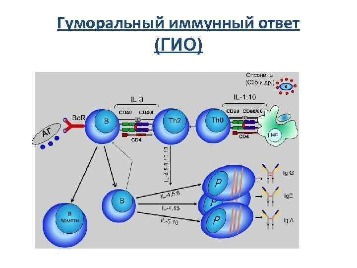 Гуморальный иммунный ответ    (ГИО)  АГ