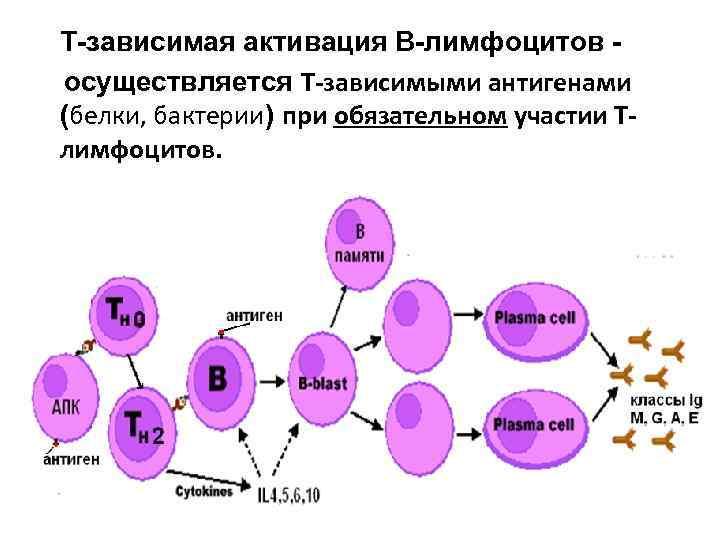 Т зависимая активация В лимфоцитов  осуществляется Т-зависимыми антигенами (белки, бактерии) при обязательном участии