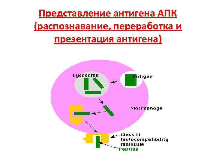 Представление антигена АПК (распознавание, переработка и презентация антигена)