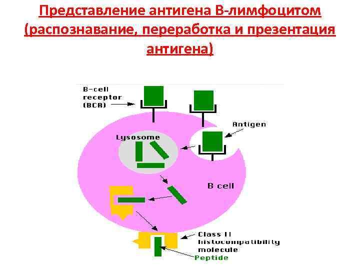 Представление антигена В-лимфоцитом (распознавание, переработка и презентация   антигена)