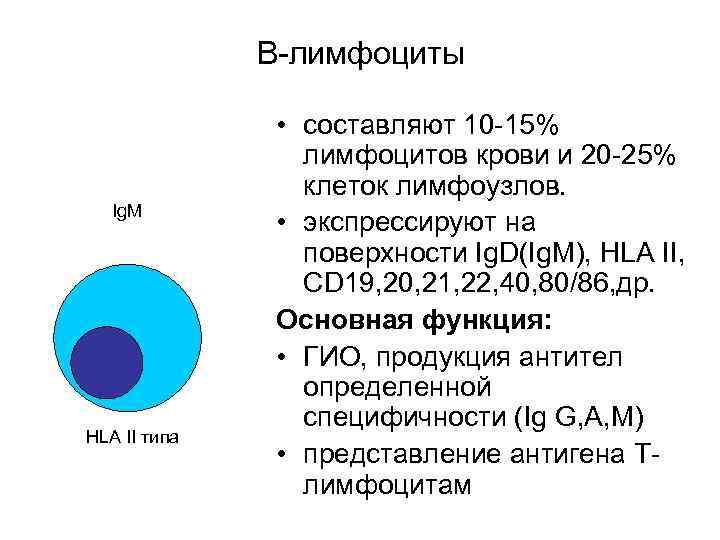 В-лимфоциты   • составляют 10 -15%   лимфоцитов крови