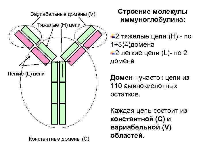 Вариабельные домены (V) Строение молекулы