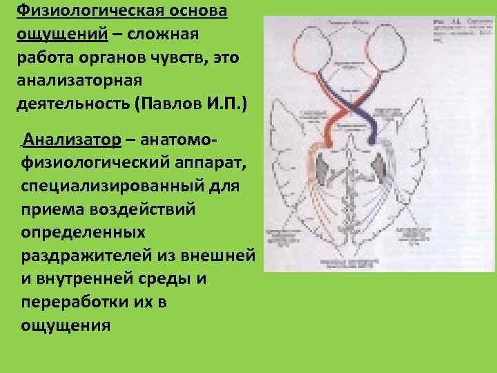 Физиологическая основа ощущений – сложная работа органов чувств, это анализаторная деятельность (Павлов И. П.
