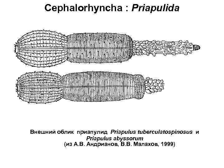 Cephalorhyncha : Priapulida Внешний облик приапулид Priapulus tuberculatospinosus и