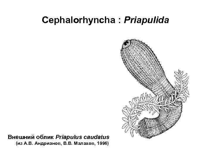 Cephalorhyncha : Priapulida Внешний облик Priapulus caudatus  (из А. В. Андрианов,