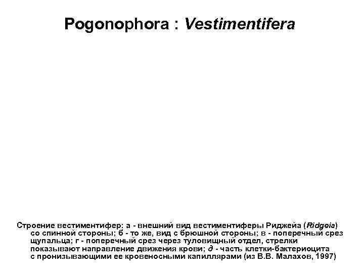 Pogonophora : Vestimentifera Строение вестиментифер: а - внешний вид вестиментиферы Риджейа (Ridgeia)