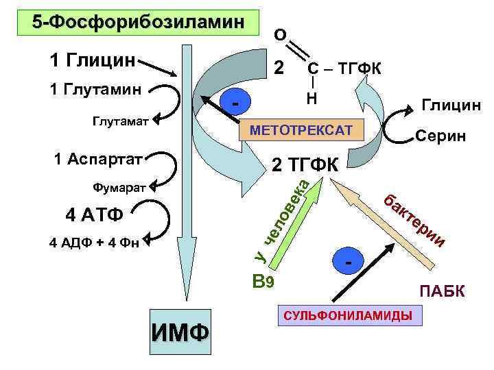 5 -Фосфорибозиламин       O 1 Глицин