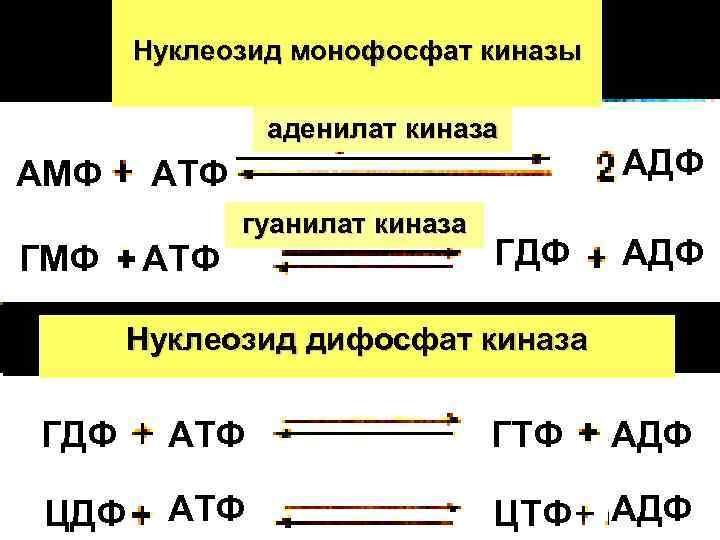 Нуклеозид монофосфат киназы    аденилат киназа АМФ  АТФ
