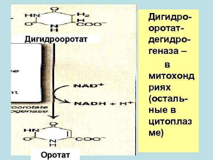 Дигидро-   оротат- Дигидрооротат  дегидро-   геназа